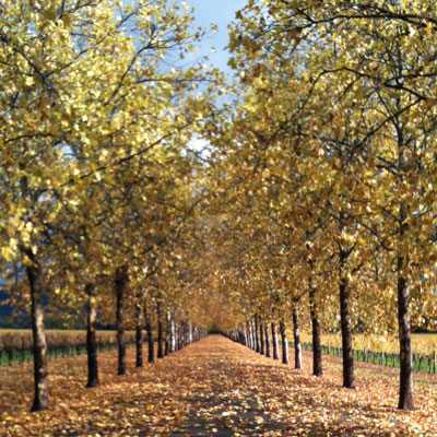 Beaulieu Garden: Sycamore-lined driveway in autumn